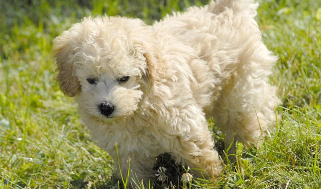 Cute Dog Doodle Wallpaper Schnoodle Dog Breed Information