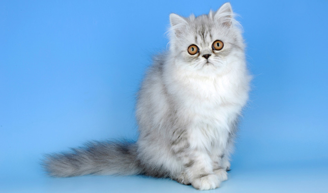 Image of: Cat Breed Cats Venture Persian Cat Breed Information