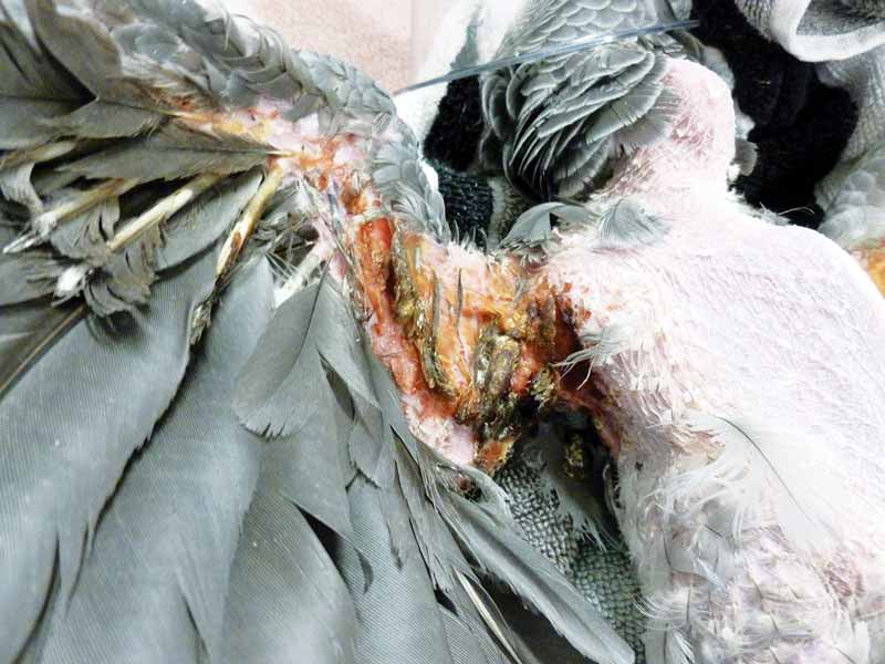 Featherplucking parrots what every veterinarian should