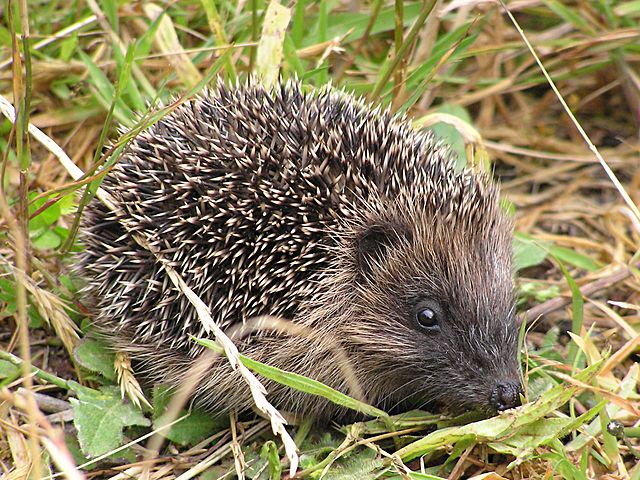 The pictures of hedgehogs in WikiMedia Commons kind of suck. Here you go.