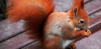 squirrel with copper colored fur