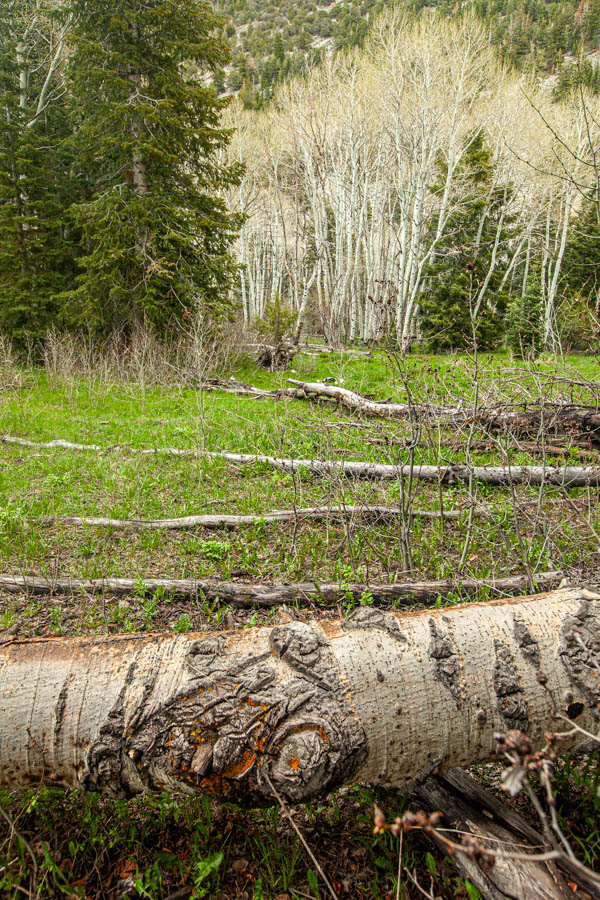 Timber Creek Trail at Great Basin National Park #vezzaniphotography
