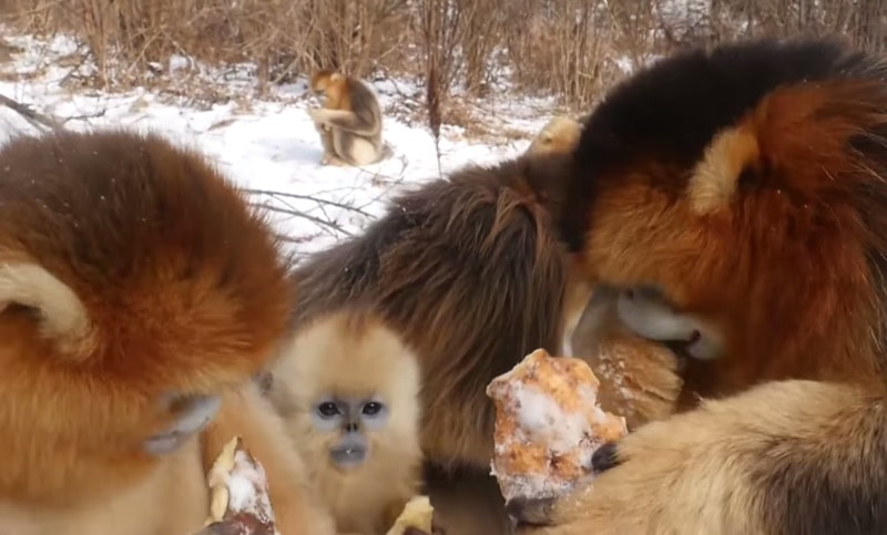Golden snubnosed monkeys in the snow  The Kid Should See