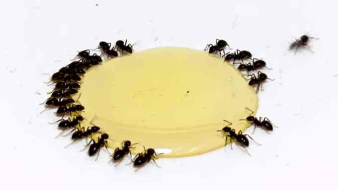 honey with ants time lapse