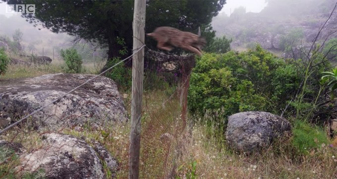 iberian lynx jumping over a fence