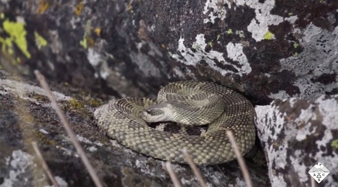 rattlesnake sipping water from scales