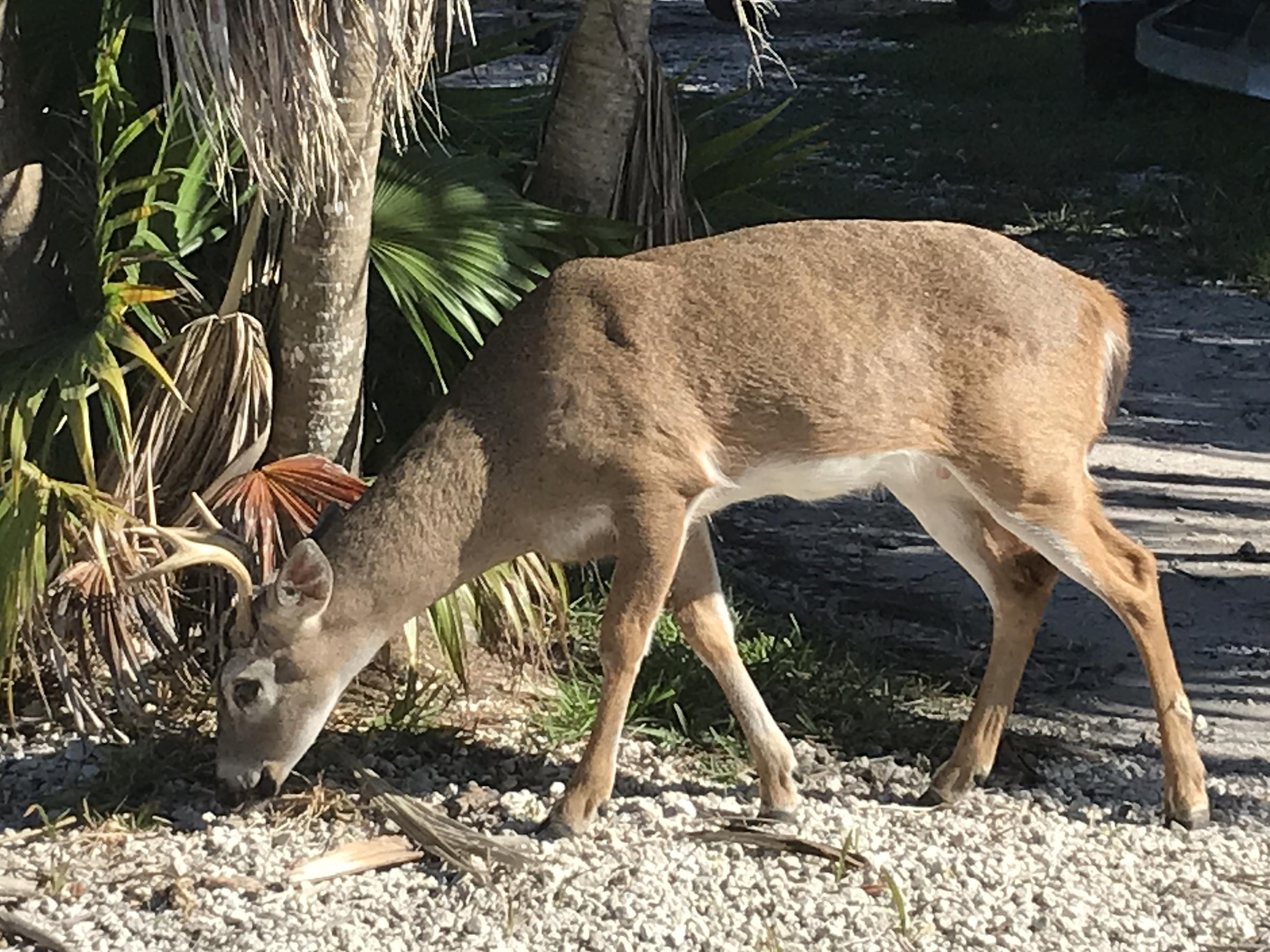 Trump Administration Opens Door To Dropping Florida's Key Deer From Endangered List