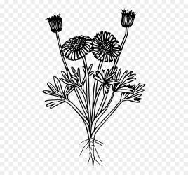Stem dandelion flowering Plant black And White coloring Botanical Wild Flower Transparent HD Png Download vhv