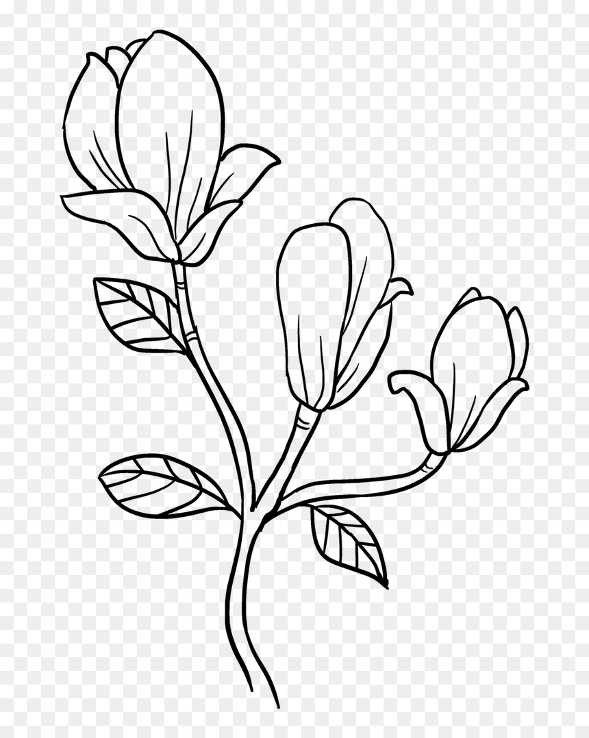 Flowers Drawing Png : flowers, drawing, Magnolia, Flower, Drawing, Easy,, Download