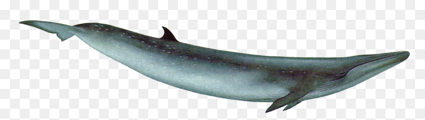Whale Png Bryde s Whale Png Transparent Png vhv