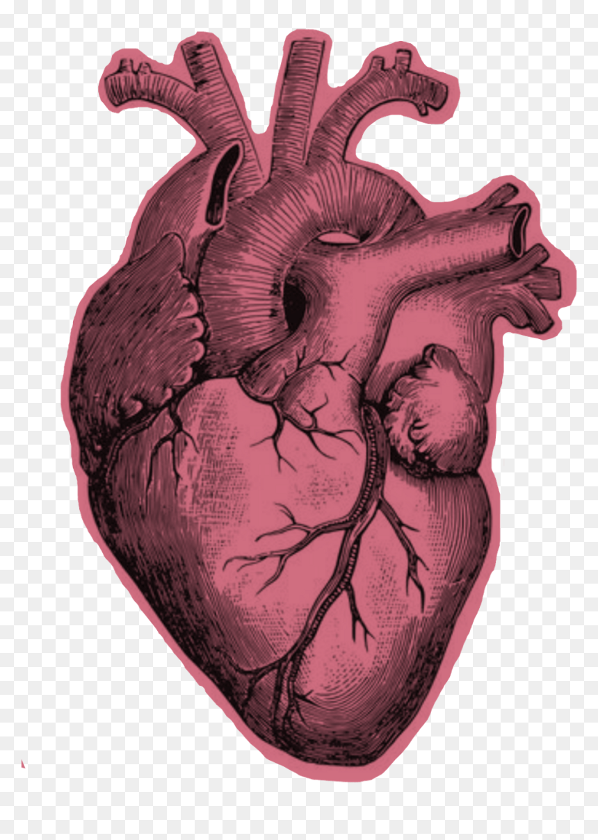 Real Heart Drawing : heart, drawing, Heart, Anatomy, Black, White, Download, Drawing, Pencil,, Transparent