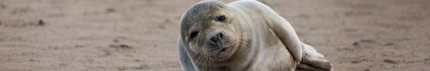 Antallet af opkald til Dyrenes Beskyttelses Vagtcentral 1812 stiger altid markant i ferierne. Specielt sæler som opholder sig alene på stranden, giver anledning til mange opkald, men sælerne er sjældent i nød, bare fordi de er alene. Foto: Dyrenes Beskyttelse. Til fri afbenyttelse.