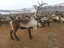 Les bois sont parfois majestueux / Some of the reindeer have majestic antlers