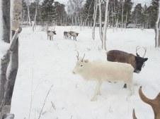 Quelques veaux dans l'enclos / a few of the calves in the pen