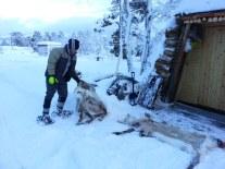 Nos deux peaux de renne congelées / Our 2 frozen reindeer hides