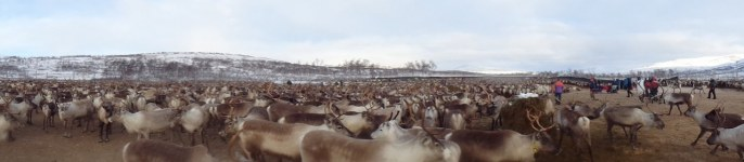 Rassemblement des rennes pour les séparer / Reindeer herding gathering to seperate the herd