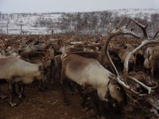 Un des rennes apprivoisé / one of the tamed reindeer