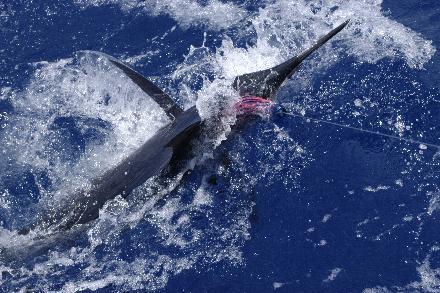 Marlin – den gamle mand og havet – Mauritius