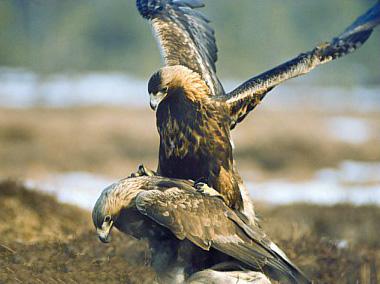 Laigle royal Aquila chrysaetos
