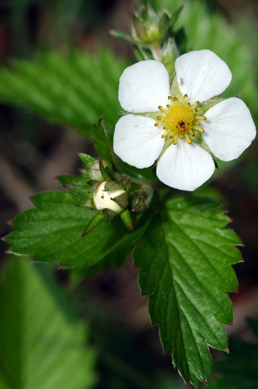 Le fraisier des bois Fragaria vesca