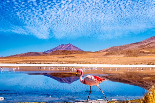 Photo of colorful flamingo in a lagoon in Bolivia