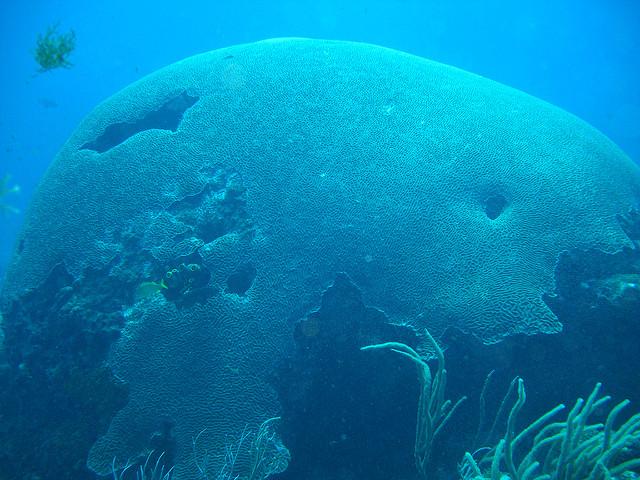 brain-coral-tobago