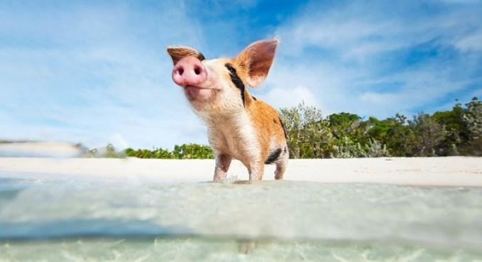 Pig Beach_Bahamas2