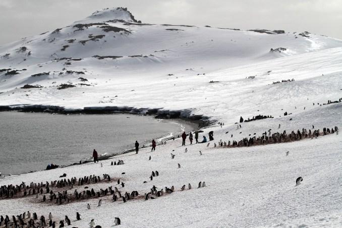 Pinguins em Aitacho Island, Península Antártica
