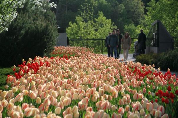 Vista do jardim de tulipas do Major's Hill Park, em Ottawa (foto: Eduardo Vessoni)