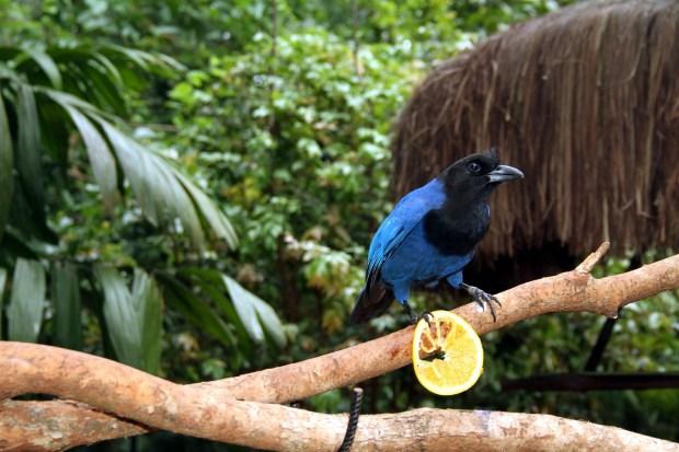 Gralha-azul, uma das aves que podem ser vistas no Parque das Aves, em Foz do Iguaçu (foto: Eduardo Vessoni)