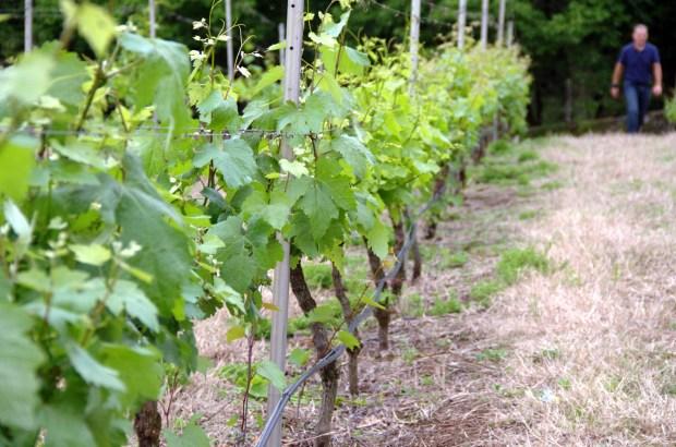 Vista do 'Vinhedo do Mundo', considerado a 3ª maior coleção privada de uvas do mundo (foto: EDuardo Vessoni)