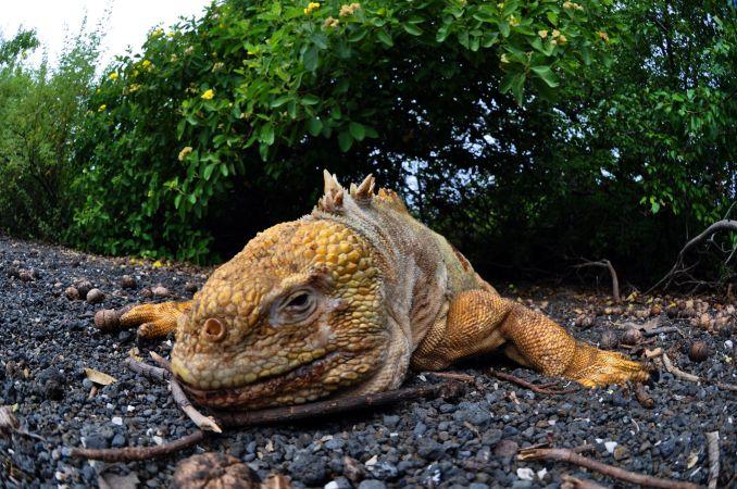 Iguana terrestre, em Galápagos (foto: Divulgação)