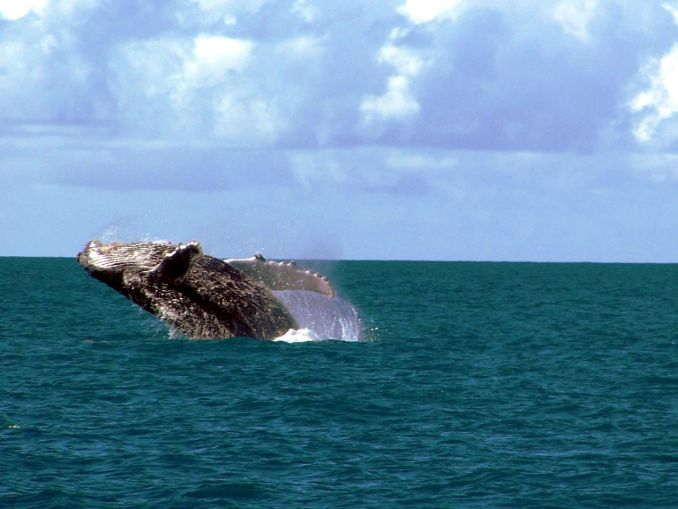 Baleia-jubarte em Abrolhos, na Bahia (foto: Amnemona-(Marina C. Vinhal)/Wikimedia Commons)