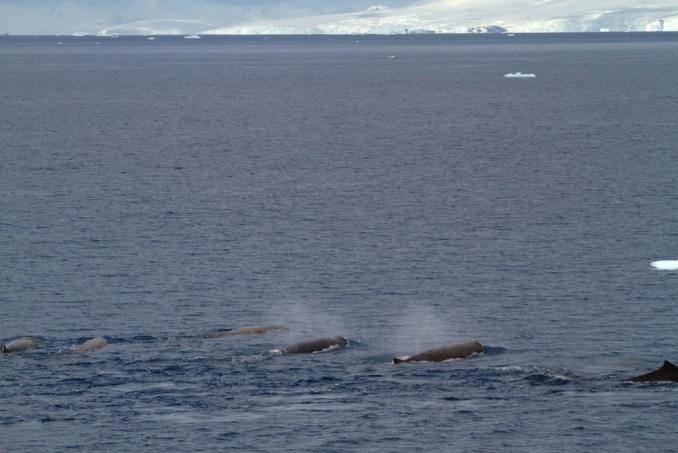 SER ACOMPANHADO POR UM GRUPO DE BALEIAS: Durante a viagem pela Antártica é comum ver grupos de baleias cortando a rota dos navios que singram aquelas águas geladas e calmas. Na região da Península Antártica, por exemplo, é possível avistar espécies como baleias orca e cachalote (foto: Eduardo Vessoni)