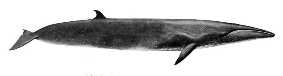 Balenottera boreale