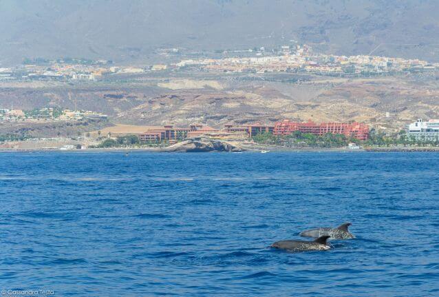 Avvistamento cetacei a Tenerife -Bonadea II