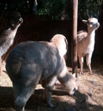 Tenerissimi alpaca al Parco Gallarose