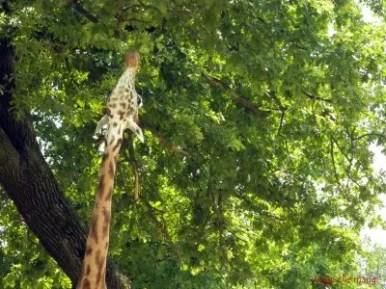 Giraffa, Safari Park di Pombia.