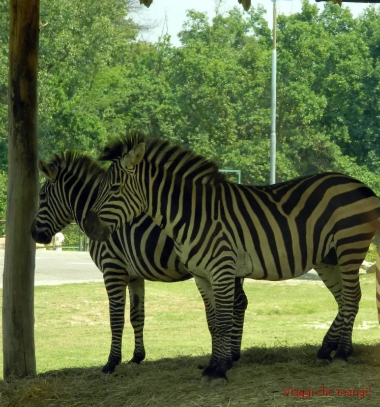 Zebra, Safari Park di Pombia.