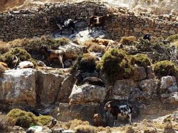muretto a secco pieno di caprette sull'isola di sifnos, in grecia.