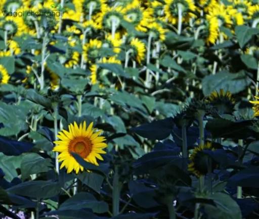 visitare la Versilia vuol dire godersi i suoi paesaggi e a luglio i campi di girasoli sono in fiore.