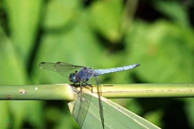 animali croazia: una libellula ai Laghi di Plitvice.