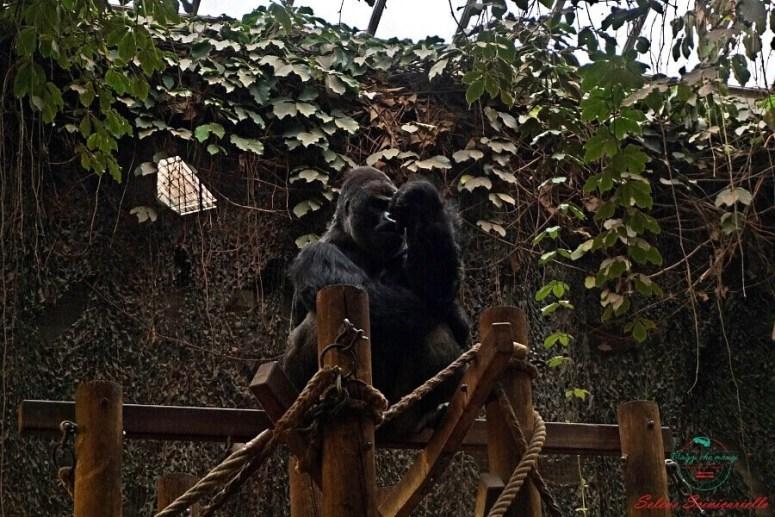 Gorilla allo zoo artis. Un consiglio per visitare amsterdam in 4 giorni