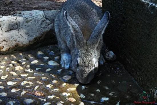 coniglio sull'isola di lokrum