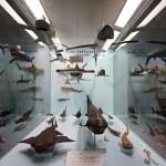 Bacheca con gli squali al museo di storia naturale di Genova.