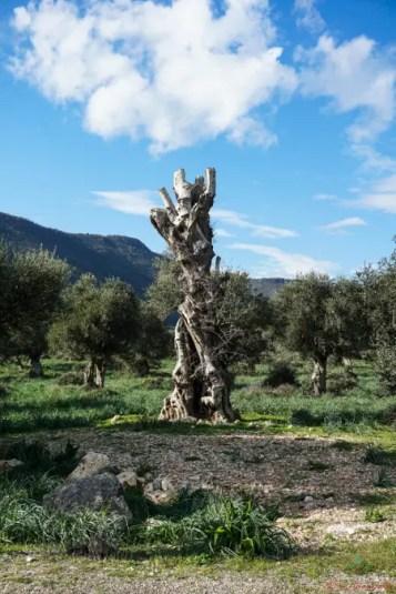 Cosa visitare sul Gargano gli uliveti della zona intorno a Cagnano Varano.