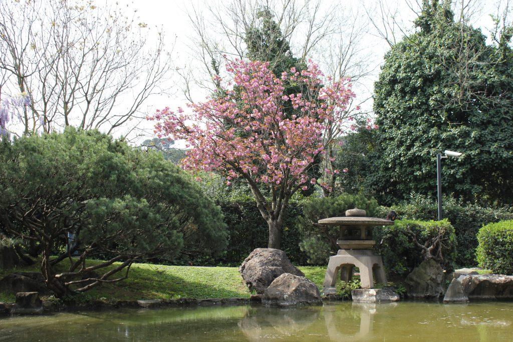 Fioritura dei ciliegi al Giardino Giapponese di Roma