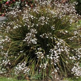 Libertia Amazing Grace - Poppy Cottage Garden Cornovaglia maggio 2014