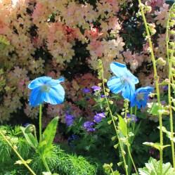 Hymalayan Poppy - Little Garth - Somerset Maggio 2014