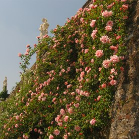 rosazzo-rose2